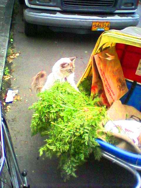 Cute kitty checks out bike cart of produce