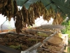 tbgallery-curing-in-hoophouse