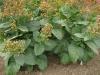 tbgallery-rustica-bigplants