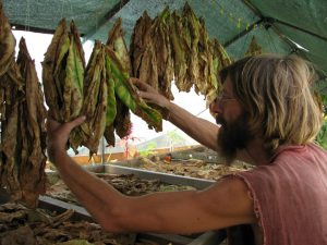 Kollibri curing Tobacco, 2011
