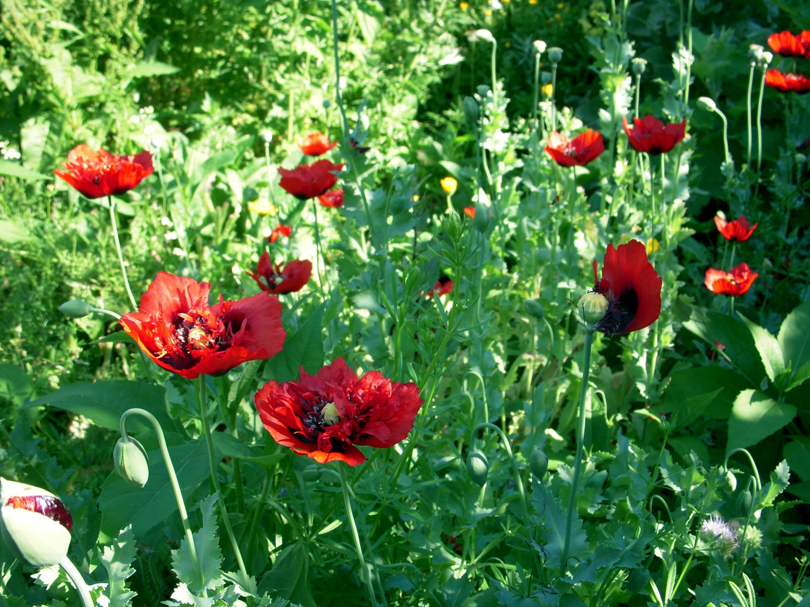 papaver somniferum opium - photo #43