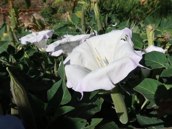 Moonflower (Datura wrightii)