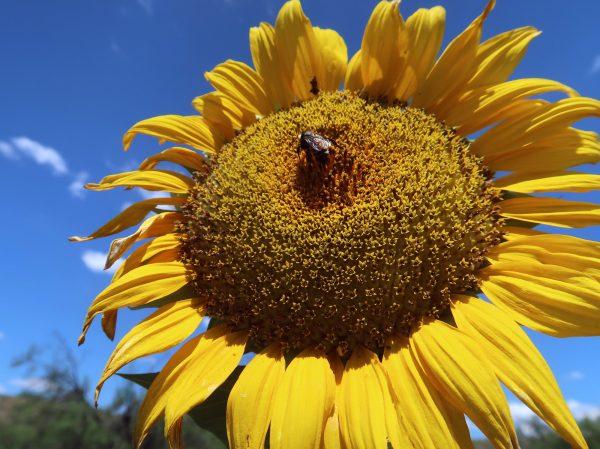Sunflower, Giant