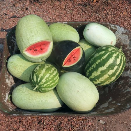 Watermelons in wheel barrow